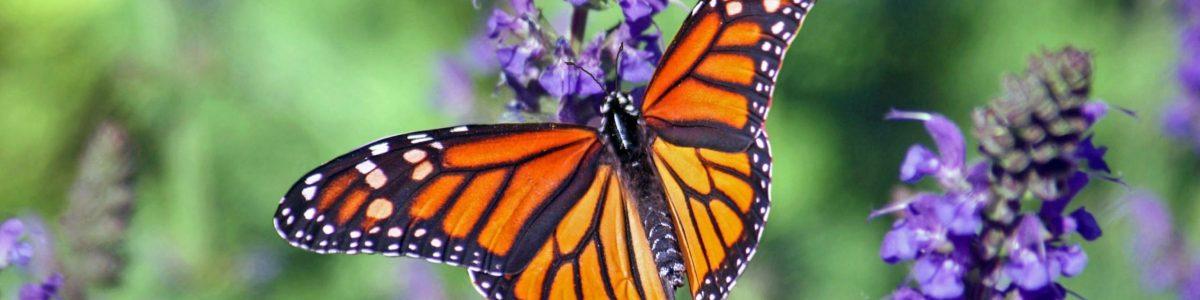 Schmetterling schmal